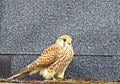 Tornfalk Common Kestrel (20342161942).jpg