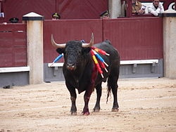 Bull in the arena with banderillas on flanks