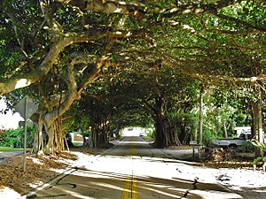Tree tunnel - Typical street in Coral Gables, Florida.