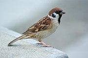 پرنده گنجشک (گنجشک نر)