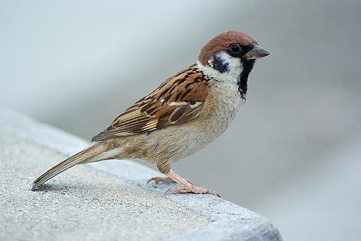 Tree Sparrow August 2007 Osaka Japan