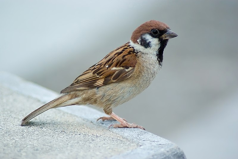 پرونده:Tree Sparrow August 2007 Osaka Japan.jpg