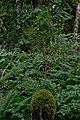Tree growing off a stump in Clearwater Wilderness, WA.jpg