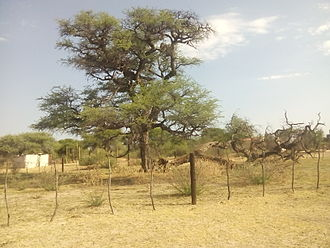 Herero people - Tree in Otjinene Koviunda where many Herero people are said to have been hanged.