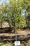 Trees planted by astronauts in Baikonur 02.jpg