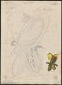 Treron sieboldii - 1833-1850 - Print - Iconographia Zoologica - Special Collections University of Amsterdam - UBA01 IZ15600025.tif