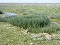 Triglochin maritimum baie-authie-nord 80 17042002 7.JPG