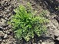Tripleurospermum inodorum sl17.jpg