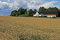 Triticale field Larvik Norway.jpg