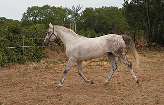 Sport horse - A trot showing natural suspension.