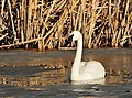 Trumpeter Swan on Seedskadee NWR (25478056661).jpg