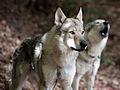 Tschechoslowakischer Wolfshund10.jpg