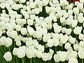 Tulip 1300251.jpg