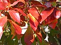 Tupelo, autumn foliage closeup.JPG