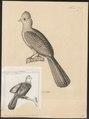 Turacus erythrolophus - 1700-1880 - Print - Iconographia Zoologica - Special Collections University of Amsterdam - UBA01 IZ19300045.tif