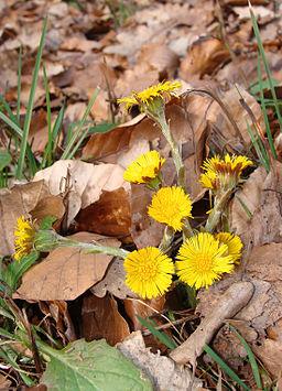 fleurs de tussilage