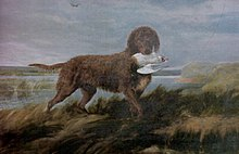 Tweed Water Spaniel.jpg