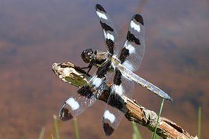 Libellula - Twelve-spotted Skimmer, Libellula pulchella