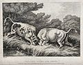 Two bulls fighting by a pond sending frogs leaping into the Wellcome V0021658.jpg