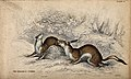Two ermines sitting on the ground in a forest. Coloured etch Wellcome V0020772.jpg