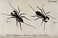 Two scorpions; Thelyphonus manilanus and Thelyphonus antilla Wellcome V0022425.jpg