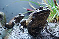 Two toads in the Vancouver Aquarium (2008).jpg