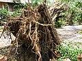 Typhoon Mangkhut, nature disaster, Tai Po, Hong Kong (49902882362).jpg