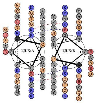 AP-1 transcription factor - Image: UM chem 505 group 7 1JUN helical wheel