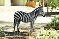 Udaya zebra.jpg