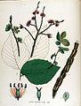 Ulmus suberosa — Flora Batava — Volume v15.jpg