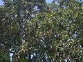 Un árbol de mango.JPG