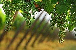 Franciacorta DOCG - Chardonnay grapes in Franciacorta.