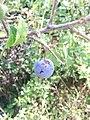 Une prune locale.jpg