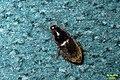 Unid. ground beetle (9679875275).jpg
