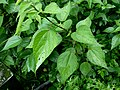Unidentified Urticaceae - 2010-07-26 072 01 - 荨麻科 by 石川 Shihchuan - 001.jpg