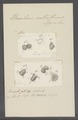 Urceolaris crateriformis - - Print - Iconographia Zoologica - Special Collections University of Amsterdam - UBAINV0274 113 21 0003.tif
