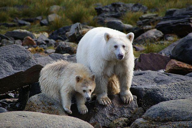 Spirit Bears 640px-Ursus_americanus_kermodei%2C_Spirit_Bear_Lodge%2C_Klemtu%2C_BC_2