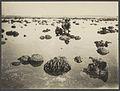UvA-BC 300.419 - Siboga - Lithothamnion-knollen (knollen van kalkwieren) van de bank bij Haingsisi (Hainsisi) op het eiland Timor.jpg