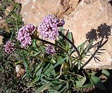 Valerianaceae wikipedia