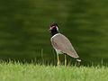 Vanellus indicus 7573.jpg