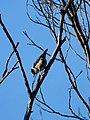 Varied Sittella (Australian nuthatch or orange-winged sittella) (36014440133).jpg