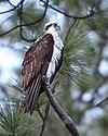 Velo Steve - Osprey (by-sa)