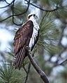Velo Steve - Osprey (by-sa).jpg