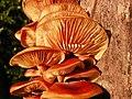 Velvet Shank (Flammulina velutipes) (8300558438).jpg