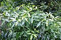 Vepris lanceolata - White Ironwood Tree - South Africa 22.jpg