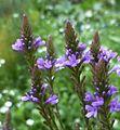 Verbena hastata (Verbenaceae) (American Vervain) - (flowering), Burgum, the Netherlands.jpg
