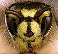 Vespula vulgaris portrait.jpg