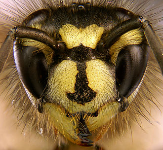 Vespula germanica - The face of the common wasp does not have distinct dots.
