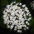 Viburnum betulifolium 2015-06-01 OB 063.jpg