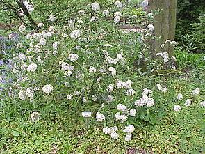Nützlicher Schneeball (Viburnum utile)